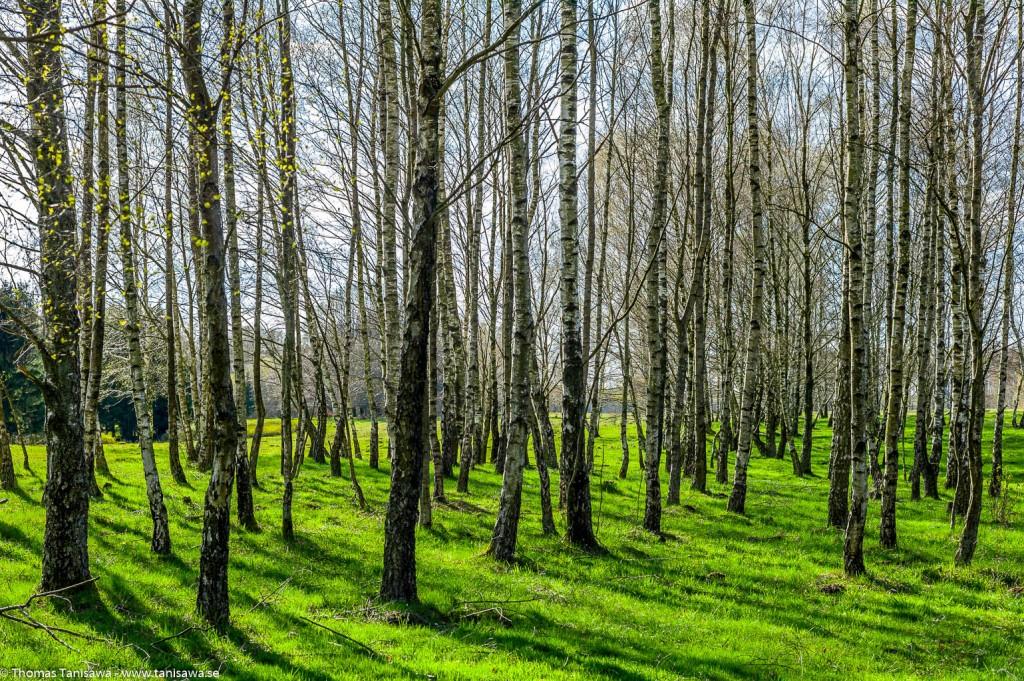 birches in skåne