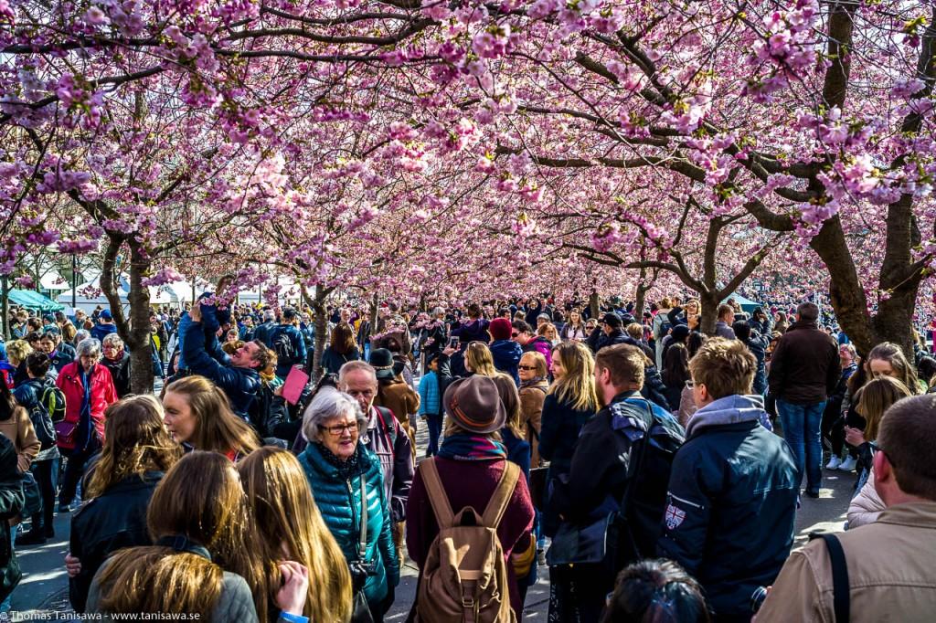 sakura blossom stockholm crowdet